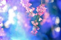 第11候 桜の花咲き始める - Wind Tribe Story