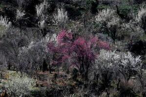 福島市渡利「花見山の花」 - フォトハウス in 福島