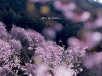 おかめ桜  〜神奈川県小田原市根府川〜 - Photographie de la couleur