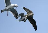 Peregrine Falcon - AVES
