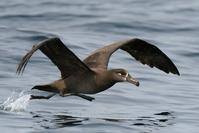 Black-footed Albatross - AVES