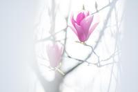 春の訪れ3_マグノリア - 年年歳歳写真と共に