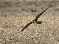 スカイトライアル - 『彩の国ピンボケ野鳥写真館』