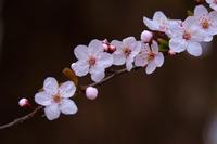 花咲きました。 - シセンのカナタ