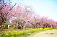 ピンクの香り♡桃の花 - ココロハレ*