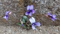 #野草讃歌 『姫菫』 Viola inconspicua Blume subsp. nagasakiensis - 自然感察 *Nature * feeling*