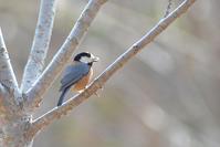 ヤマガラなど - Bird-Watching Journal