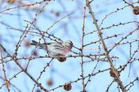 カラマツの枝中のベニヒワ - 彩の国 夢見人のフォト日記