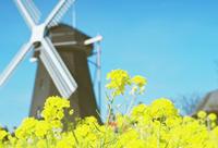 菜の花と風車 - photomo