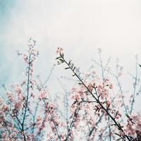 桜 - photomo