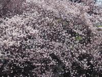 新宿御苑の桜 ソメイヨシノ - 光の音色を聞きながら Ⅱ