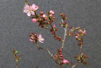 ニワウメの小品盆栽と高松港寄航のにっぽん丸 - 団塊夫婦・山野草に魅せられて
