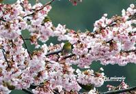 寒桜とメジロ - azure 自然散策 ~自然・季節・野鳥~