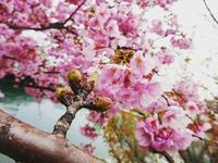 ピンクの桜 - NATURALLY