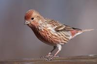 お山の赤い鳥 - 瑞穂の国の野鳥たち