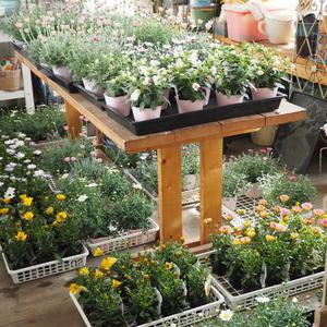 準備がちっとも進んでおりません - sola og planta ハーブとお花のお庭日記