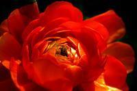 紅い花は - kenihの部屋 (流浪する魂)