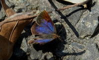 逆戻り - 紀州里山の蝶たち