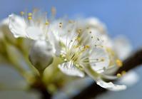 スモモの花 - 旅のかほり