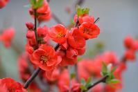 ボケの花も咲きました - 旅のかほり