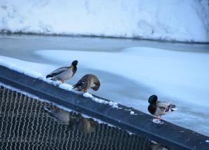 鴨との出会い - フットパス