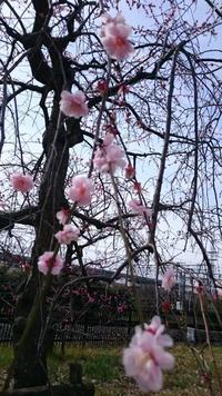 春を感じる - のんびりいこう