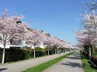 ドイツでお花見♪ - ドイツの優しい暮らし Part 2
