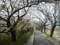 西伊豆の桜 - 白壁荘だより  天城百話