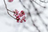 桜咲く - デジカメ写真集
