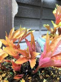 黄金葉タンチョウソウ~タンチョウソウとイワヤツデは別物ですよ! - 園芸のいのうえ屋