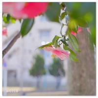 まだら色の椿。 - Yuruyuru Photograph