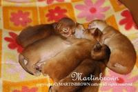アビシニアン子猫生まれました - Martinbrown's Abyssinians