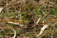 コホオアカ 03月06日(昨年の在庫から) - 旧サンヨン(Nikon 300mm f/4D)野鳥撮影放浪記