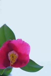 椿の名は - 「美は観る者の眼の中にある」