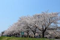 地元河川敷の桜 - Precious Days ~ふたりで~Ⅱ