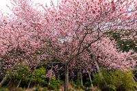 大寒桜咲く石山寺 - 花景色-K.W.C. PhotoBlog