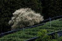 孤高の白梅 - 花景色-K.W.C. PhotoBlog