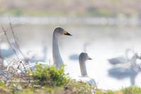 久々の更新は 季節外れの白鳥 - サカナのおカオ