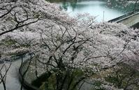 京都美山のさくら - 浜千鳥写真館