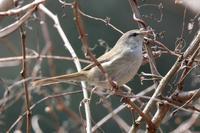 ウグイスの主張 - 野鳥写真日記 自分用アーカイブズ