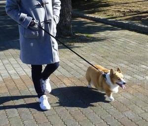 お散歩画像 - コーギーと私