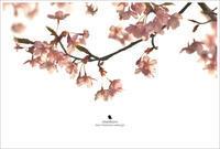 夕方の桜 - お花びより