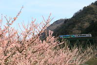 谷間の梅が満開! - かにさんの横歩き散歩日記