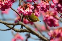 寒緋桜とメジロ Byヒナ - 仲良し夫婦DE生き物ブログ