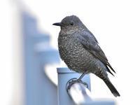 """イソヒヨドリ(磯鵯)、幼鳥/Juvenile Blue Rock Thrush - 「生き物たちに乾杯」 第3巻 """"A Toast to Wildlife!"""" vol. 3"""