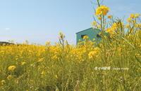 菜の花畑を訪ねて・・ - 花々の記憶