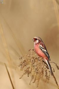 ベニマシコ - 野鳥公園