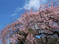 新宿御苑の桜 しだれ桜 - 光の音色を聞きながら Ⅱ