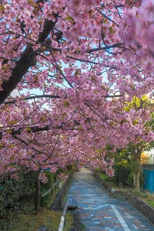淀水路の河津桜 - 京都写真(Kyoto Photo)