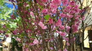 ヒルトン大阪と桜。 - HOSUMIの美しく楽しい毎日